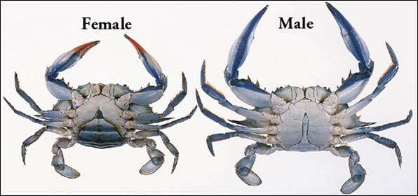 Female Male Crabs
