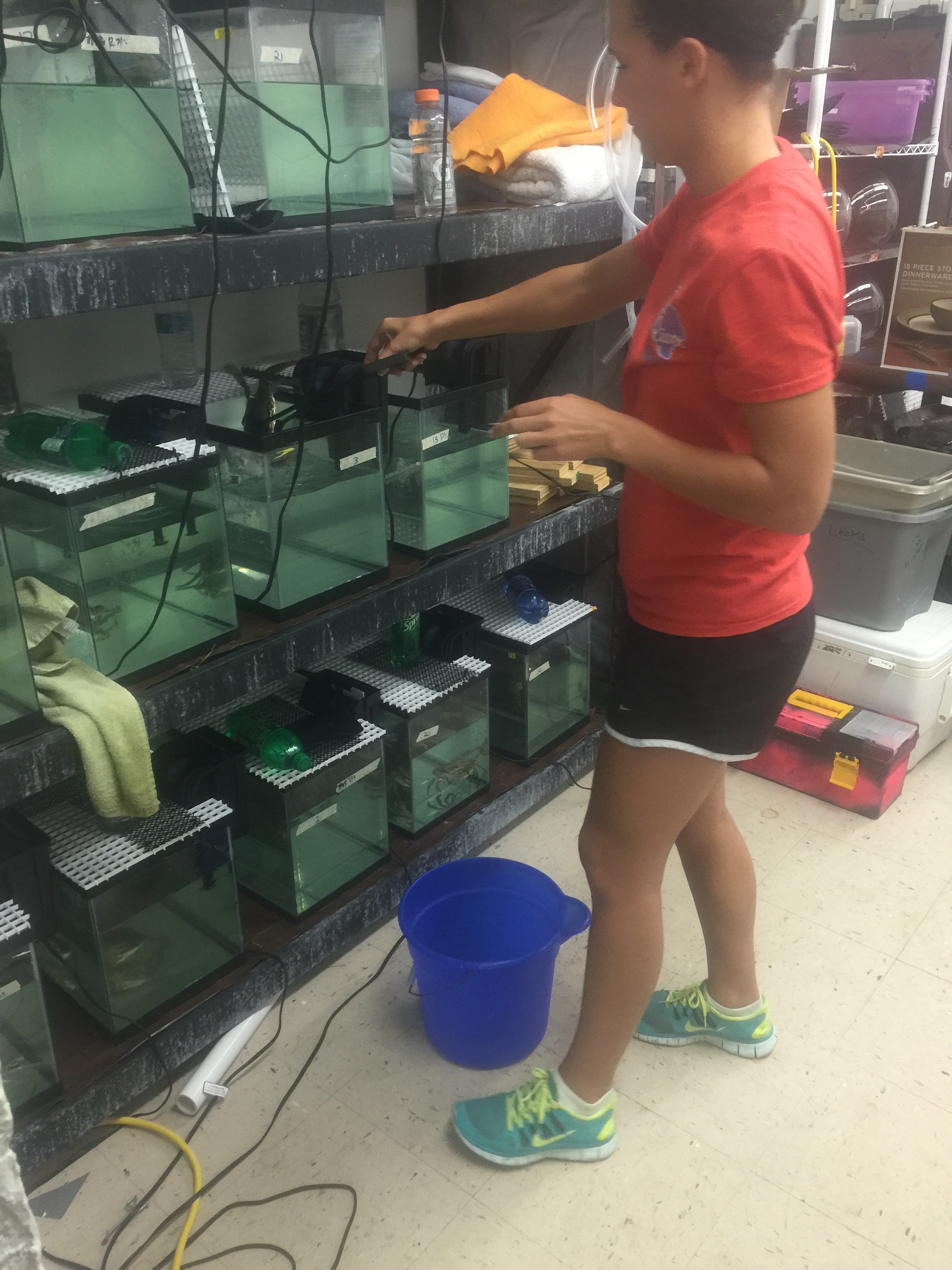 Moving crabs into the lab